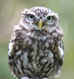 wise owl 0915